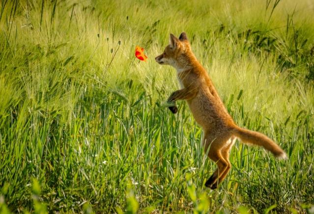 Lisica skok