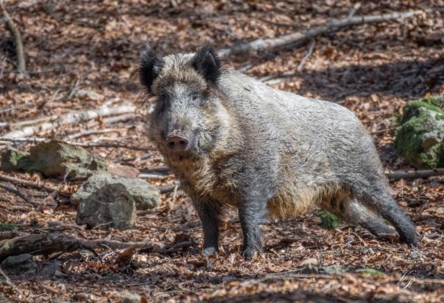 D svinja